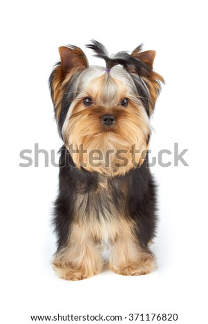Young male of Yorkshire Terrier stands on white background                               - stock photo