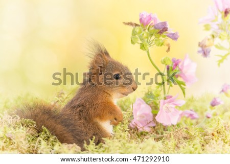 young red squirrel standing between branches with flowers