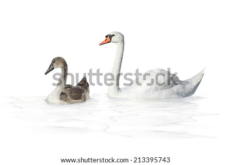 young swan  on a white background