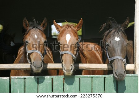 Young thoroughbred  horses standing in the stable door - stock photo