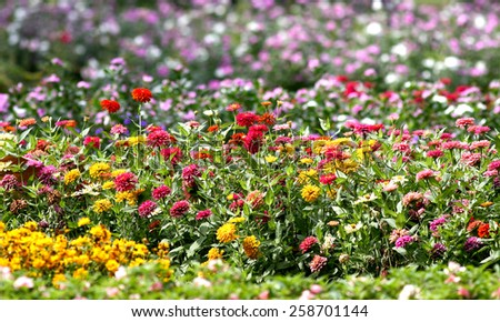 Zinnia flower multicolored, blooming in the garden - stock photo