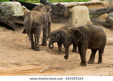 A african elephant calf following its mother