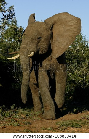 A angry young elephant bull comes out the bushes and charges in addo elephant national park,eastern cape,south africa - stock photo