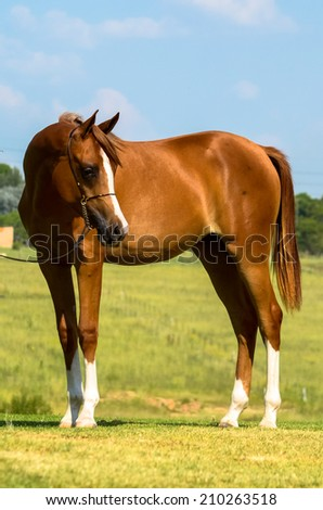A arab filliy horse looking down with a halter on - stock photo