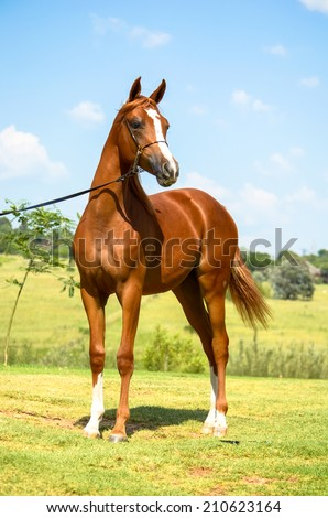 a arab horse standing - stock photo