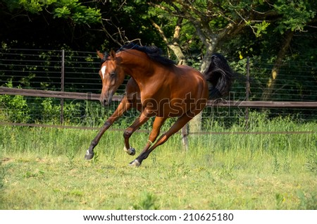 a arabian bay filly cantering in the field in the afternoon sun - stock photo