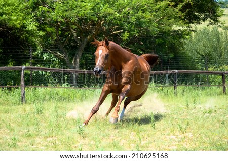 a arabian horse playing in a grassy green field - stock photo