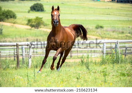 A arabian horse running or cantering in a field - stock photo