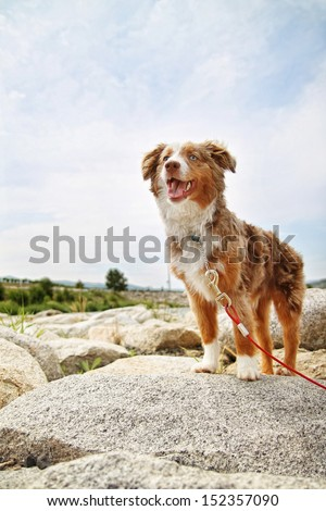 a australian shepherd on a rock - stock photo