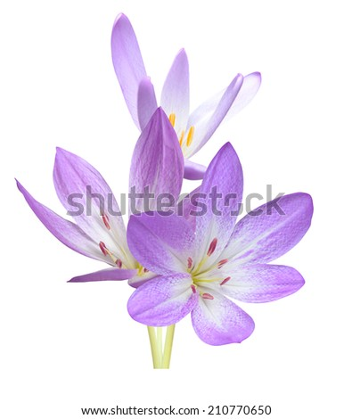 A autumn crocus flowers isolated - stock photo