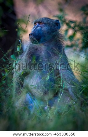 A baboon in blue morning light