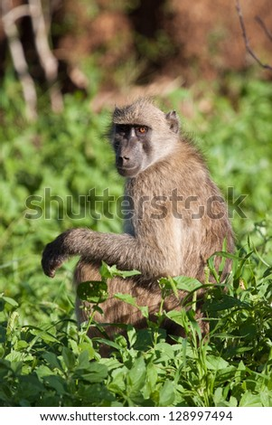 A baboon sitting in greenery