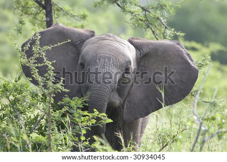 A baby african elephant eating leaves and other plants - stock photo