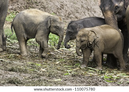A baby Asian Elephant (Elephas maximus) receives a gentle nudge from her mother to go play with the other babies. - stock photo