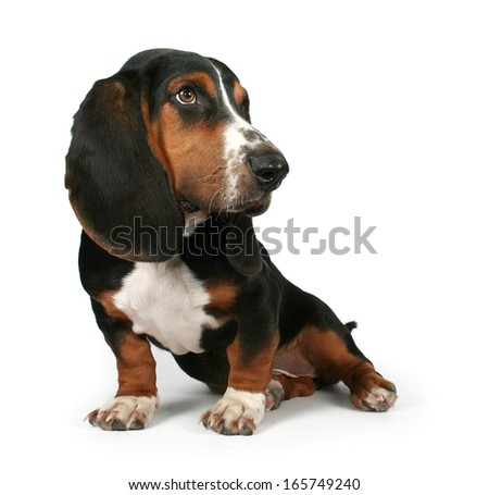 a baby basset hound with big ears - stock photo