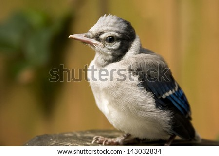 A baby blue jay perches after his first attempt at flight. - stock photo