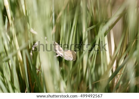 A baby chameleon crawling on a green grass stalks