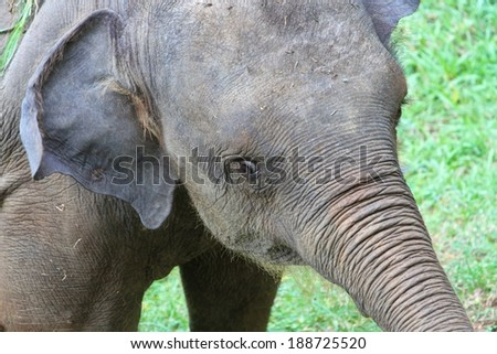 A baby elephant closeup at the Udawalawe Elephant Transit Home and Information Centre Department of Wildlife Conservation Sri Lanka. - stock photo