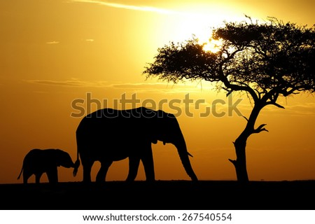 A baby elephant holds on to it's mothers tail at sunset in Africa - stock photo