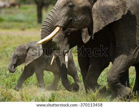 A baby elephant it goes close to his mother. Africa. Kenya. Tanzania. Serengeti. Maasai Mara. An excellent illustration.