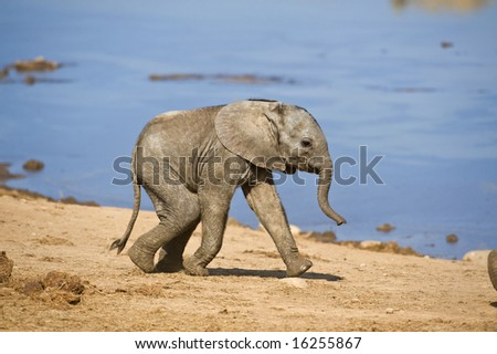 A baby elephant rushes to catch up with his family