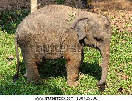 A baby elephant with a false leg at the Udawalawe Elephant Transit Home and Information Centre Department of Wildlife Conservation Sri Lanka. - stock photo