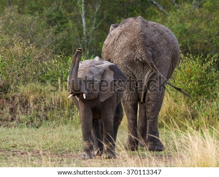 A baby elephant with his mother. Africa. Kenya. Tanzania. Serengeti. Maasai Mara. An excellent illustration.