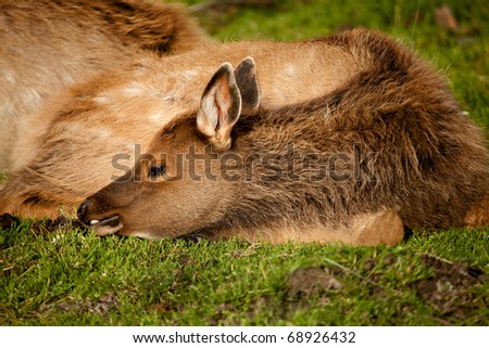 A baby elk (called a calf) rests on the grass by its mother. - stock photo