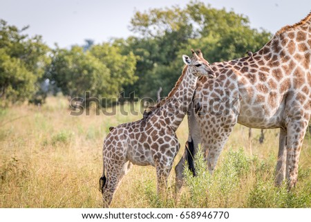 A baby Giraffe bonding with the mother in the Chobe National Park, Botswana.