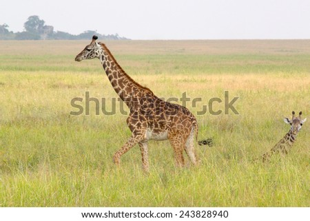 A baby giraffe near his mother (Giraffa camelopardalis) in Serengeti National Park, Tanzania - stock photo