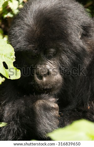 A baby gorilla in dappled sunshine looks down at its fist. It is sitting in the forest surrounded by leaves. - stock photo