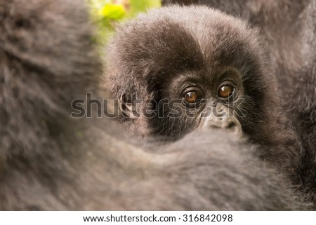 A baby gorilla in the forest of the Parc National des Volcans in Rwanda looks straight at the camera over its mother's shoulder. In the background are a few green leaves. - stock photo