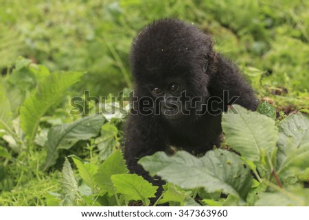 A baby gorilla in the jungle in Rwanda