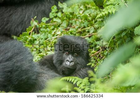 A baby gorilla lounging between the green vegetation of virunga national park. - stock photo