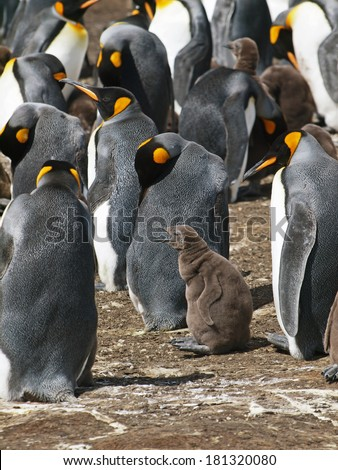 A baby King Penguin and its parent at Volunteer Point in the Falkland Islands. - stock photo