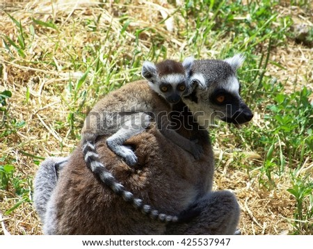 A baby lemur with his mother