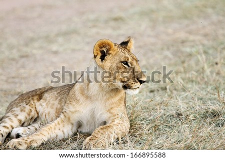 A baby lion relaxing - stock photo