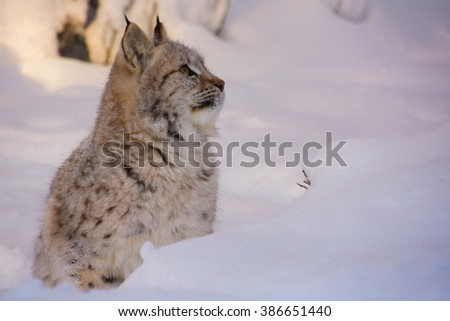 A baby lynx in the cold winter and much snow in Norway. A Lynx lynx, Eurasian lynx/cat lynx with spots. Kid lynx. - stock photo