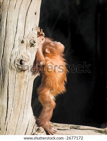 A baby orang utan sitting on a log - stock photo