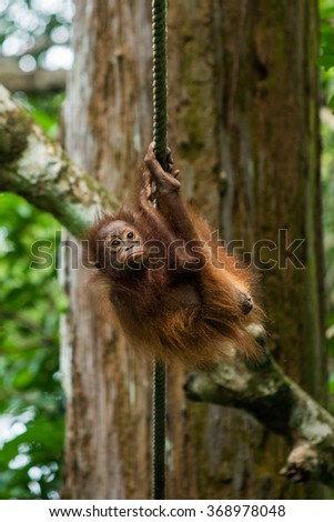 A baby orangutan hangs from a rope at a wildlife sanctuary in Malaysian Borneo. - stock photo