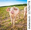 A baby pig on a pigfarm in Dalarna, Sweden - stock photo