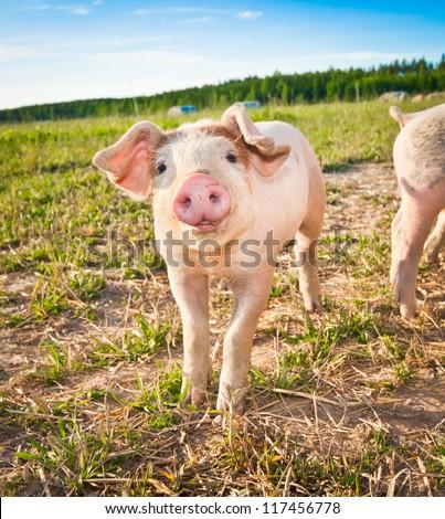A baby pig on a pigfarm in Dalarna, Sweden - stock photo