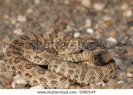 A baby prairie rattlesnake photographed in western Kansas on a gravel road.
