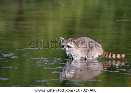 A baby Raccoon wades in swamp water in Everglades National Park in Florida - stock photo