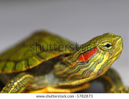 A baby red-eared slider turtle against a grey background. - stock photo