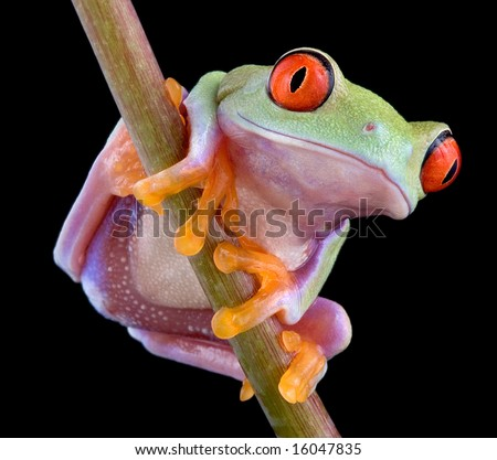 A baby red-eyed tree frog is perched on a plant stem. - stock photo