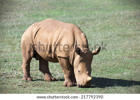 a baby rhineceros eating grass in the open - stock photo