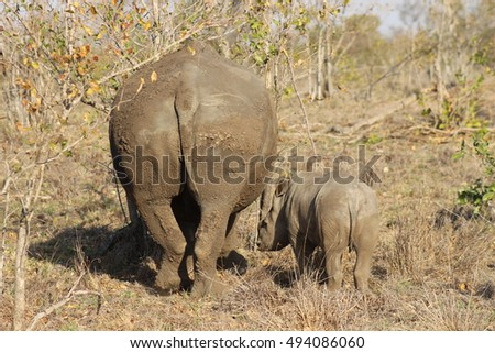 A baby rhino standing next to its mother in the dry grass at Kruger National Park in South Africa