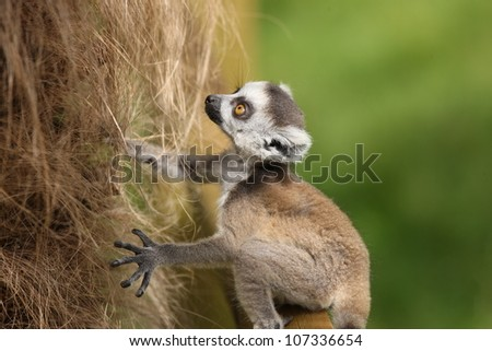A baby Ring-Tailed Lemur learning to climb