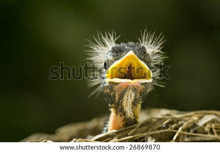 "A baby robin with a ""bad hair day"", screaming for his mother, ""selective focus"" copy space, macro - stock photo"